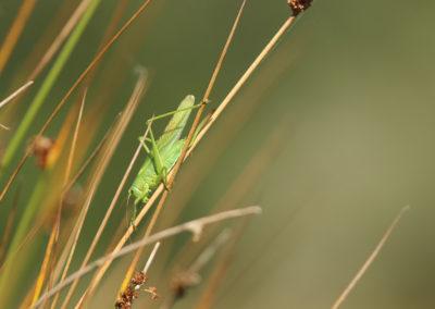 Grande Sauterelle verte  Tettigonia viridissima