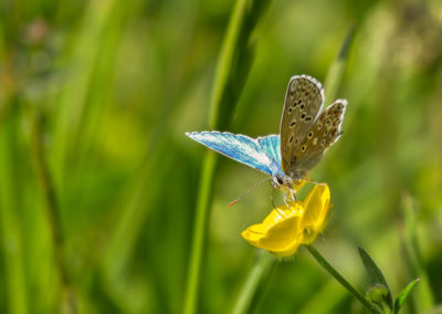 Azuré bleu céleste ( Lysandra bellargus)