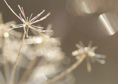 Fleur d'ombellifère (2)