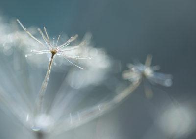 Fleur d'ombellifère